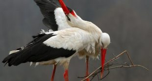Storks – a symbol of spring and new life