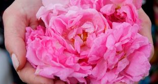 Rose oil – a bit neglected treasure