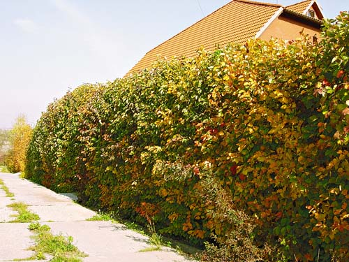 Hedges of various plants
