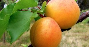 Apricots – a good friend of our heart