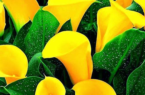 yellow kalla